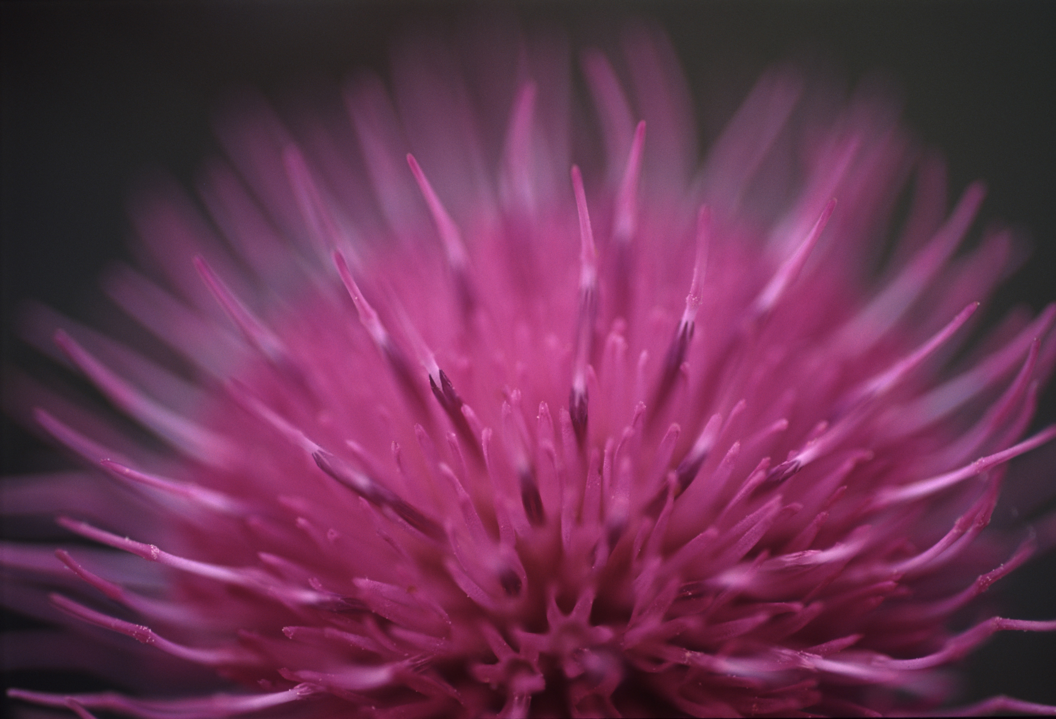 Close up detail with shallow DOF of a purple thistle flower over a dark background